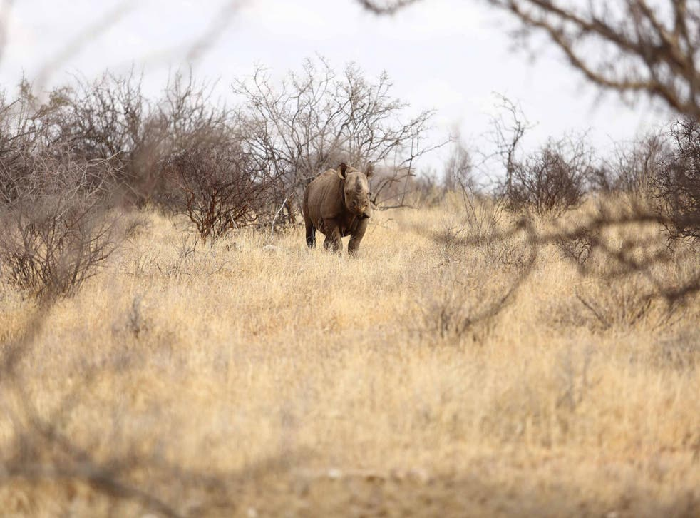 Black rhinos are some of the most elusive and endangered animals in the world