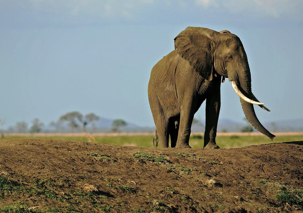 194f5002d487c2 Michael Gove s proposed ban on ivory doesn t go far enough to protect the  elephants of Africa