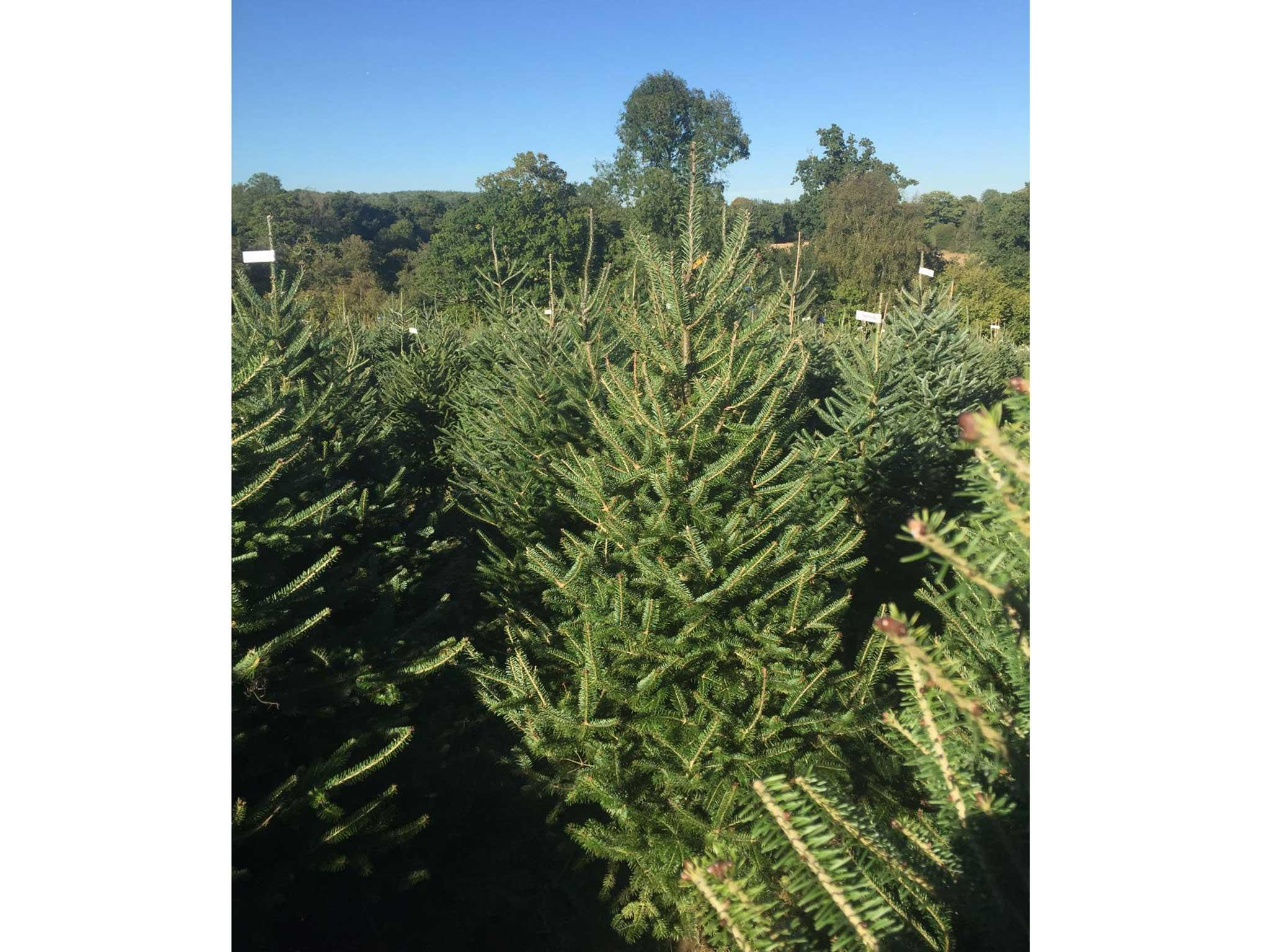 send me a christmas tree fraser fir from 3995 send me a christmas tree