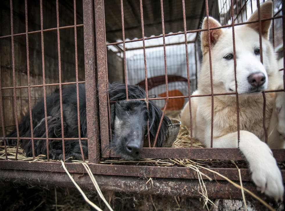 Two dogs shown locked in a cage at a dog meat farm in Namyangju, South Korea