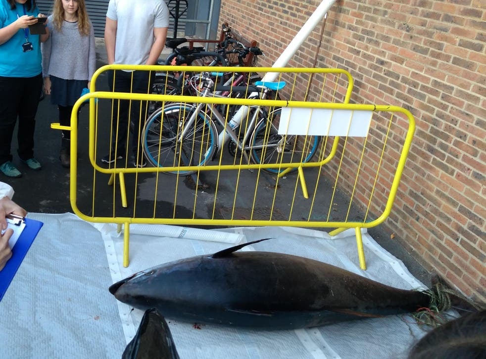 The gigantic fish was 2.3m or 7.4ft
