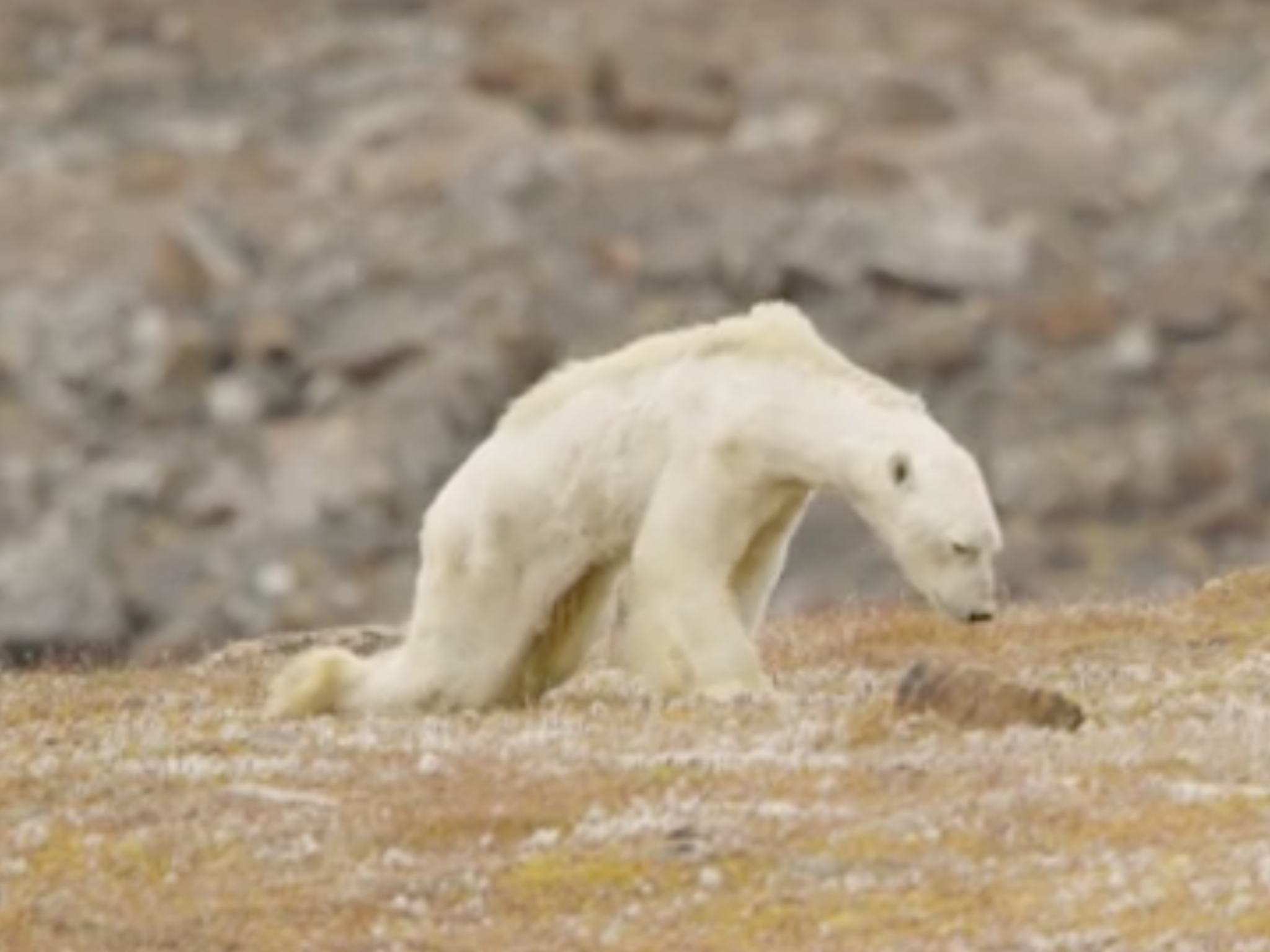 Film crew in tears over footage of starving polar bear