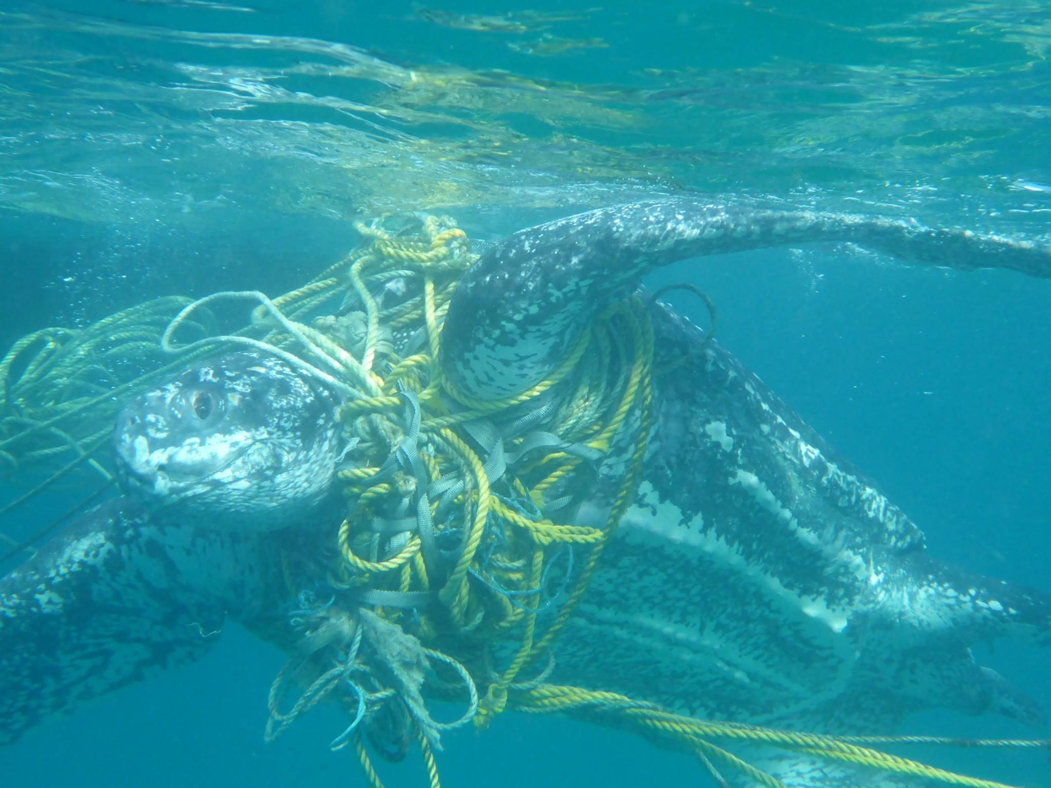 Plastic Pollution Turtles Are Dying After Becoming