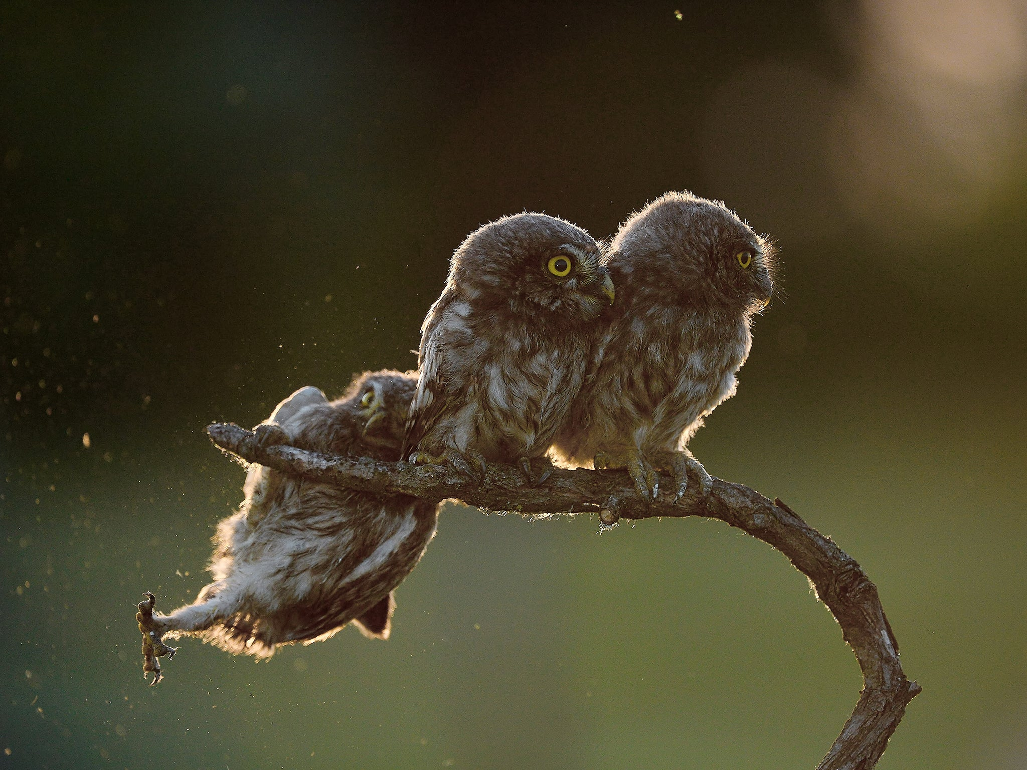 Comedy Wildlife Photography Awards Little Owl Falling Of - Amazing winners from the 2016 british wildlife photography contest