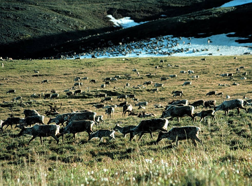 Caribou graze in the Arctic National Wildlife Refuge – some 19.6 million acres of protected land that is considered holy by Native American tribes