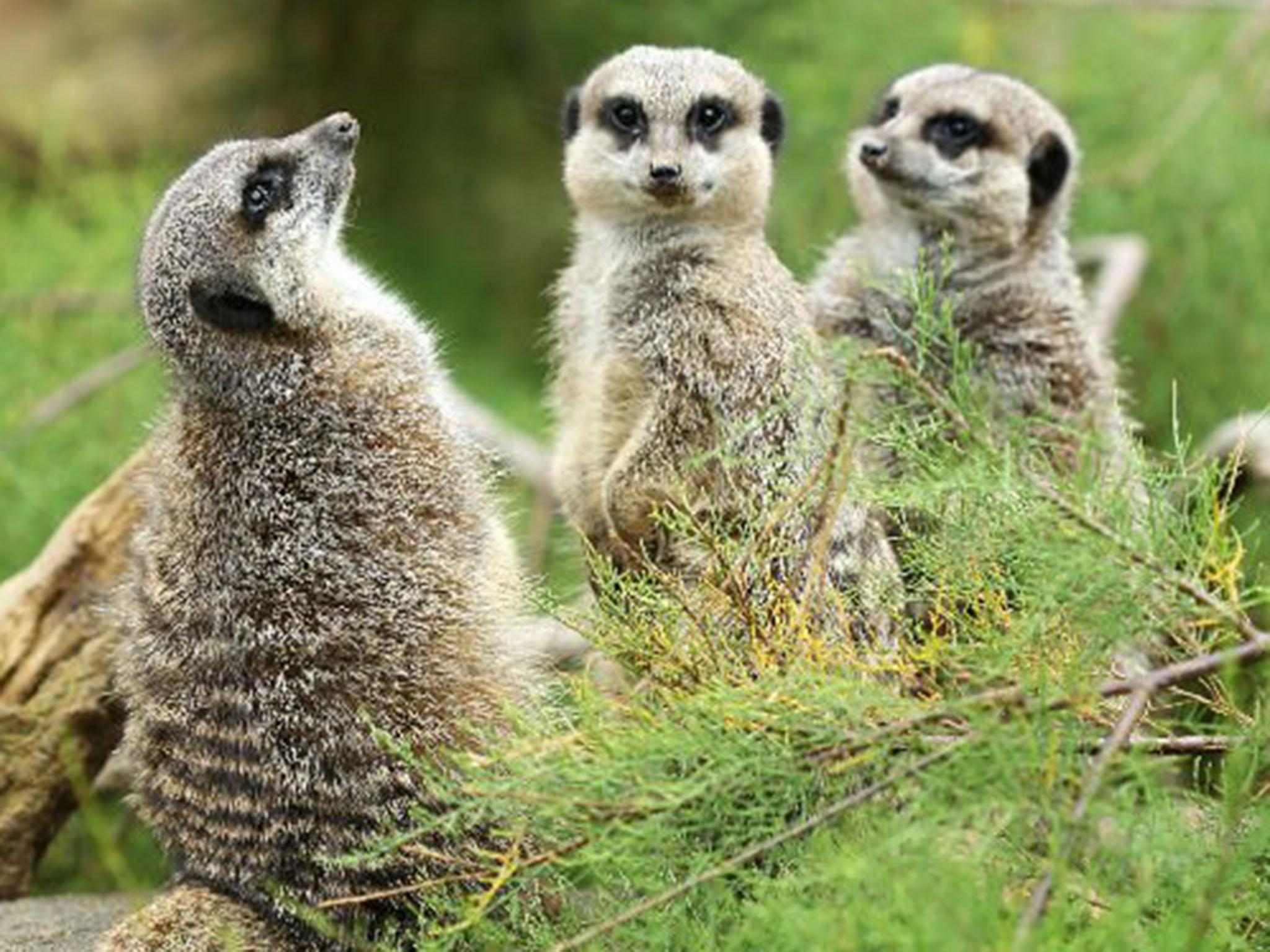 four meerkats killed in london zoo fire were all brothers the independent. Black Bedroom Furniture Sets. Home Design Ideas