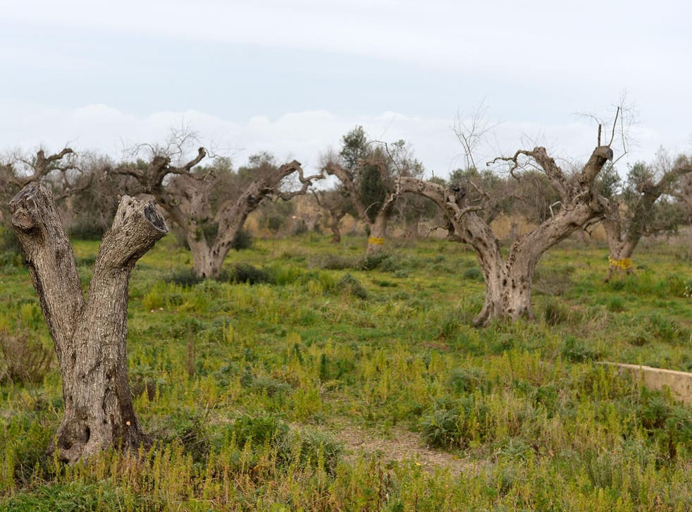 An outbreak of the bacterial pest Xylella fastidiosa has caused substantial damage to olive production in the south of Italy