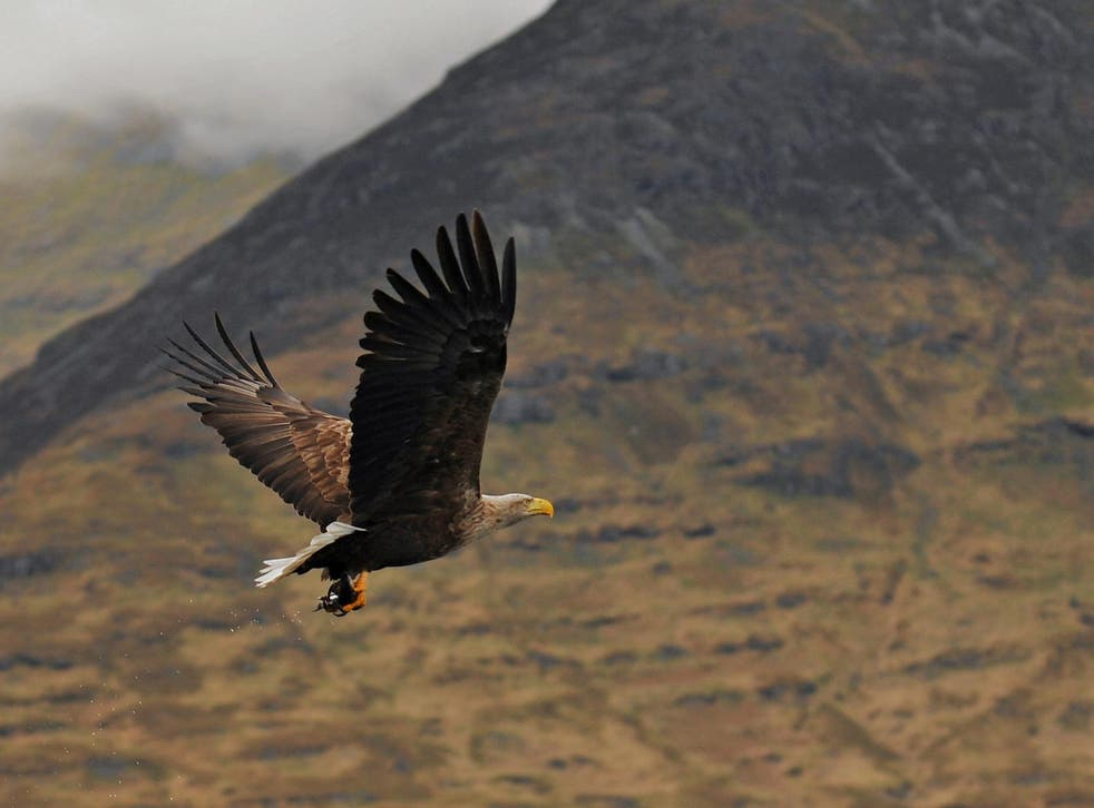 The return of white-tailed sea eagles to Scotland is considered a significant conservation success story