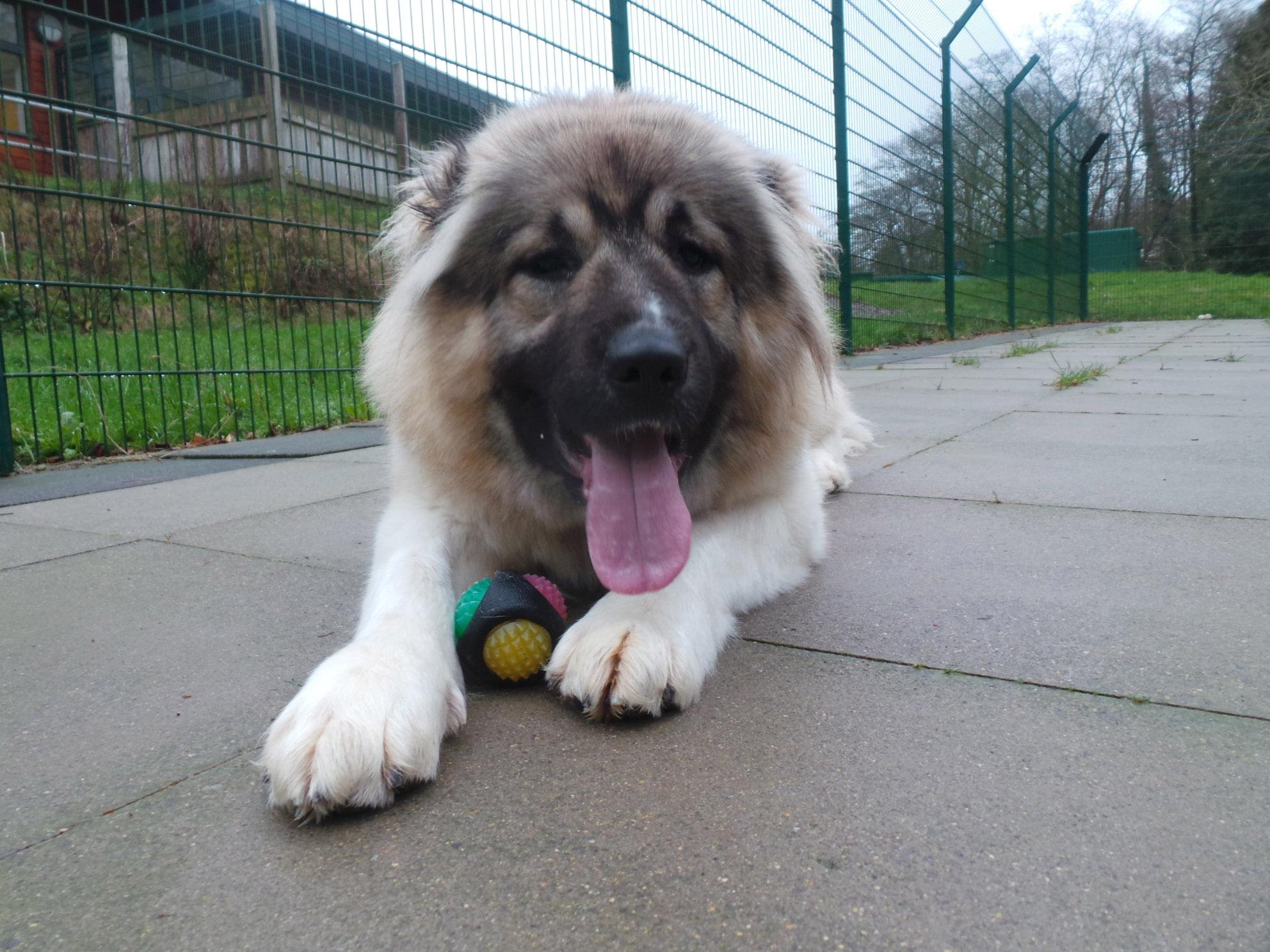 Britain's biggest rescue dog 'could grow to the size of a tiger'
