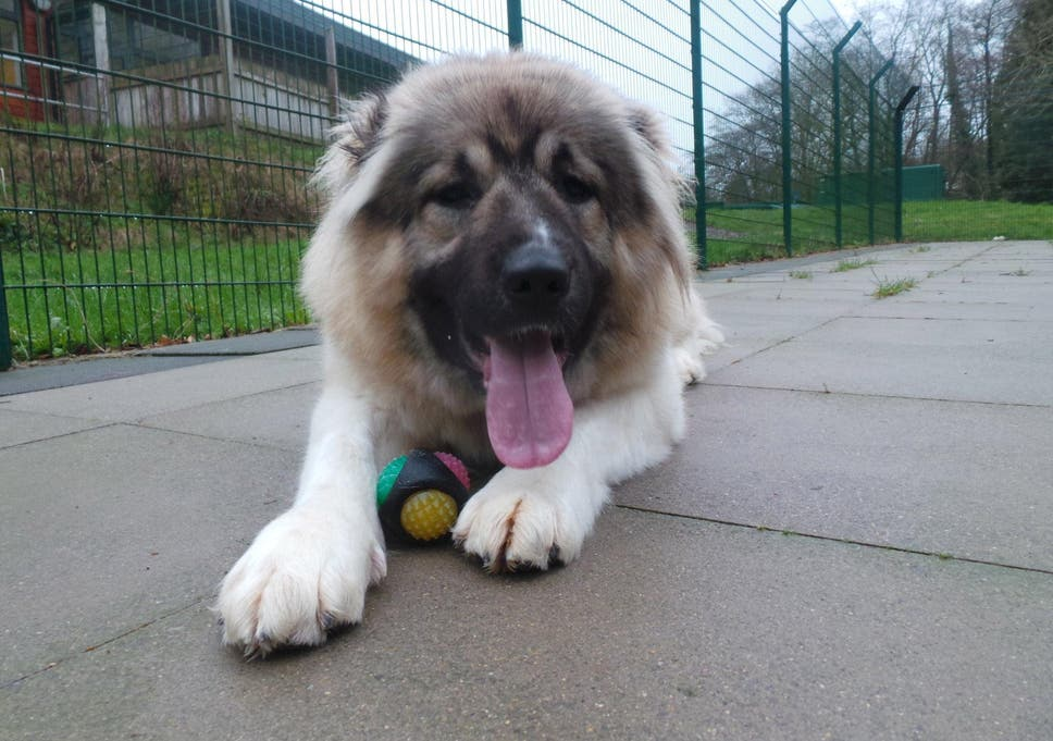 Britains Biggest Rescue Dog Could Grow To The Size Of A