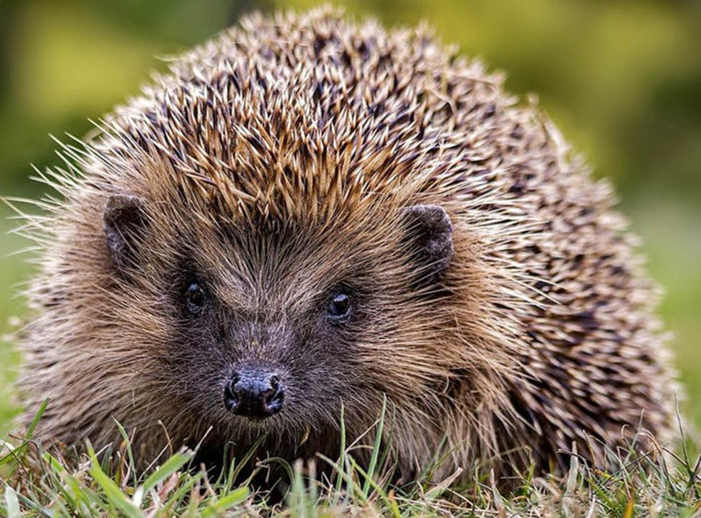 Hedgehogs are in steep decline in the UK