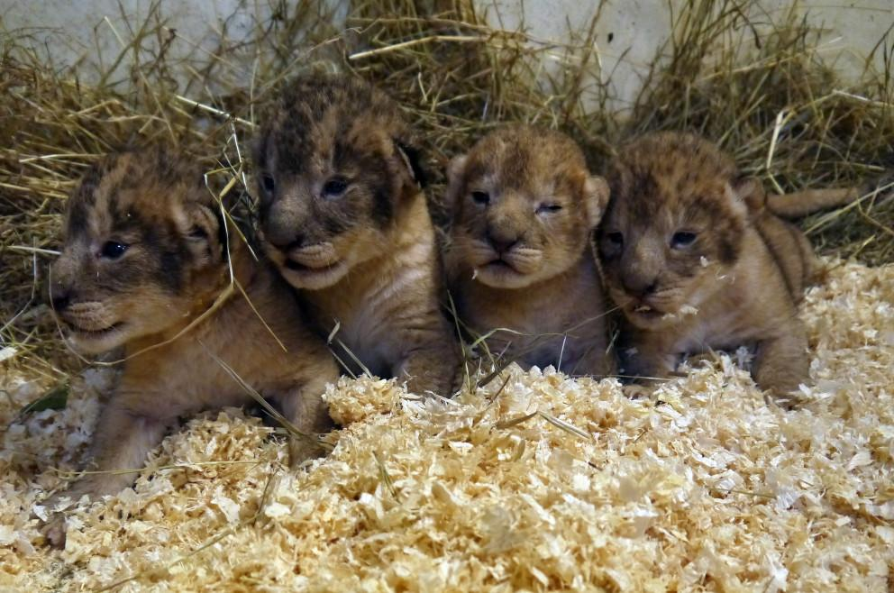 Zoo kills nine lion cubs because they became 'surplus'