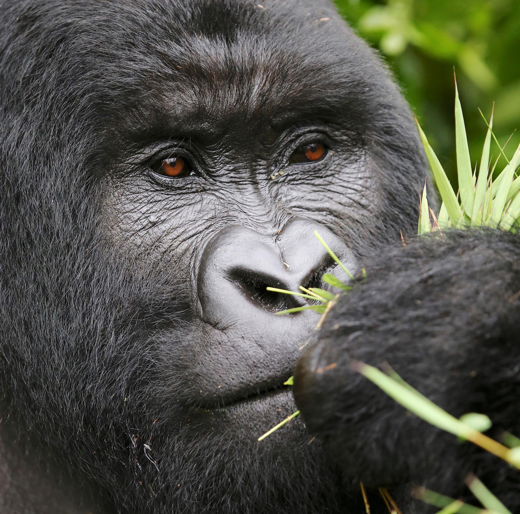 a bright future for rwanda s mountain gorillas and adjacent