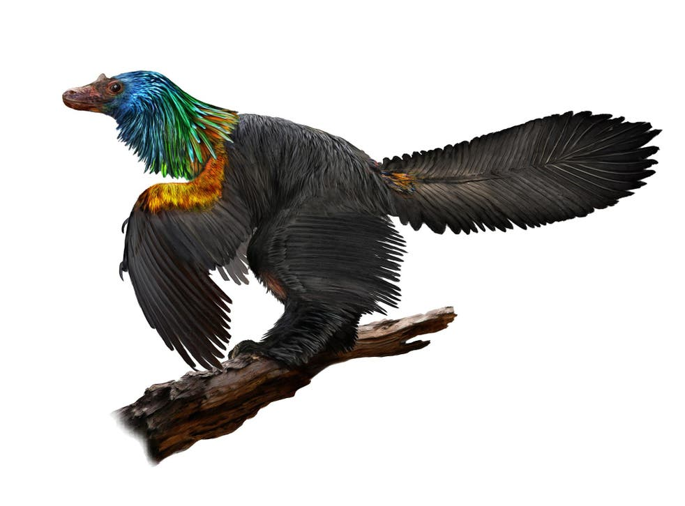 Illustration of the dinosaur Caihong juji, showing the iridescent plumage growing on its head and chest