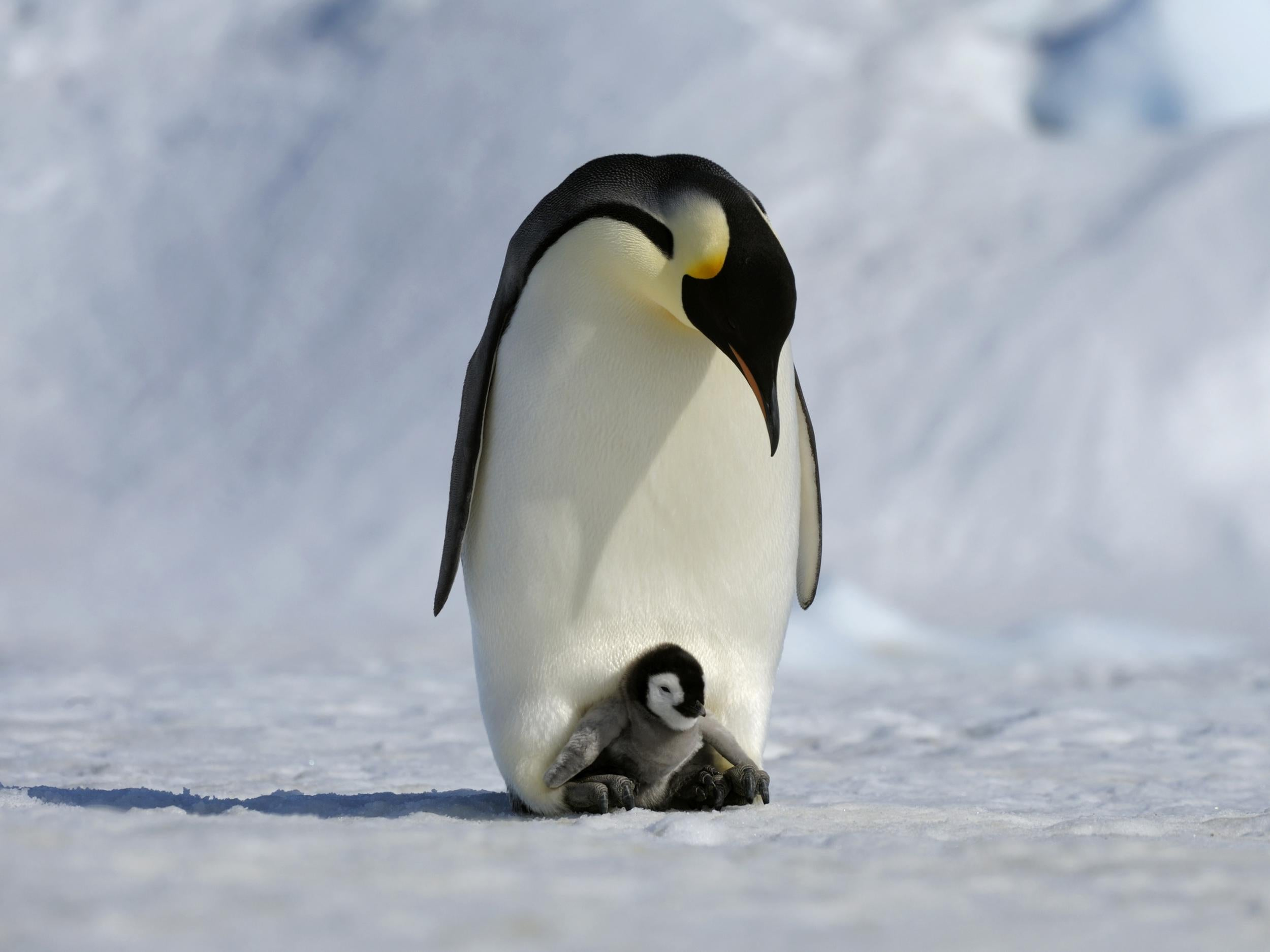 a research on emperor penguins Emperor penguins: good dads, but less dedicated than you may have thought image adult emperor penguins and their chicks near a research station in terre adélie, antarctica.
