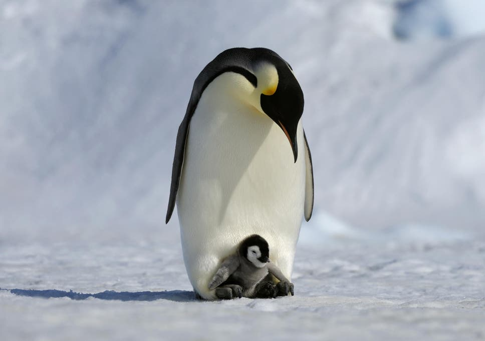 how do emperor penguins mate