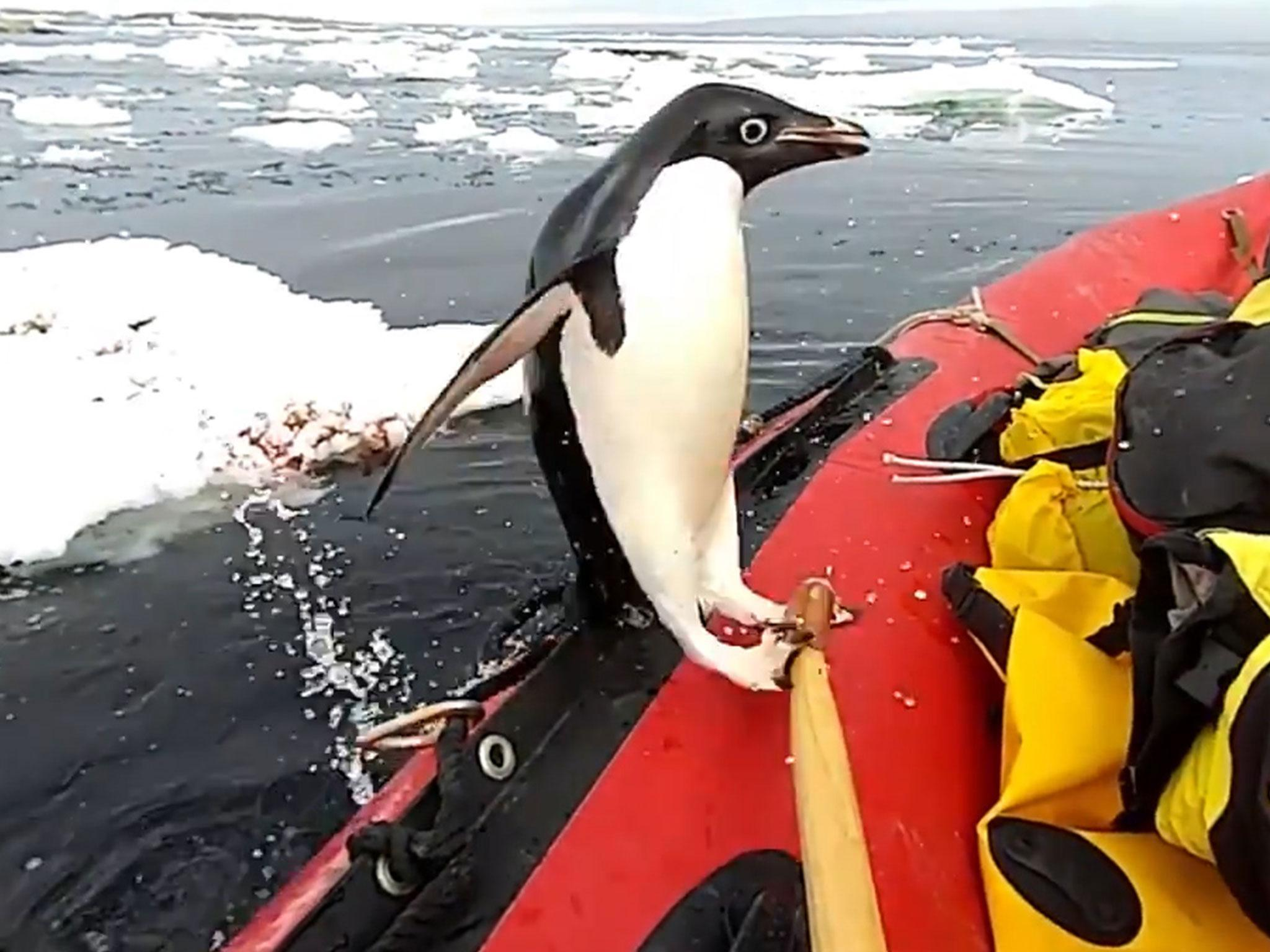 Curious penguin jumps into expedition boat in Antarctica