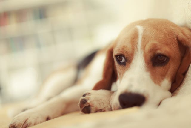 Alabama rot can affect all breeds of dog