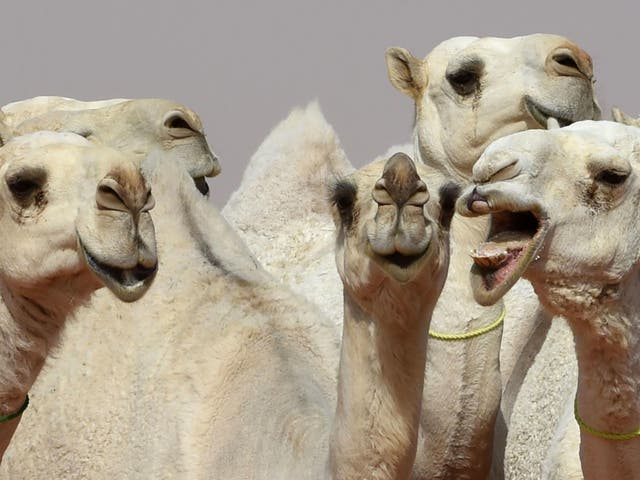 Camels during a beauty contest as part of the annual King Abdulaziz Camel Festival