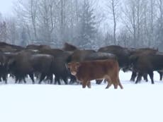 Cow Escapes On Way To Slaughterhouse Smashes Through Metal Fence  Cow Escapes Farm To Live With Herd Of Bison