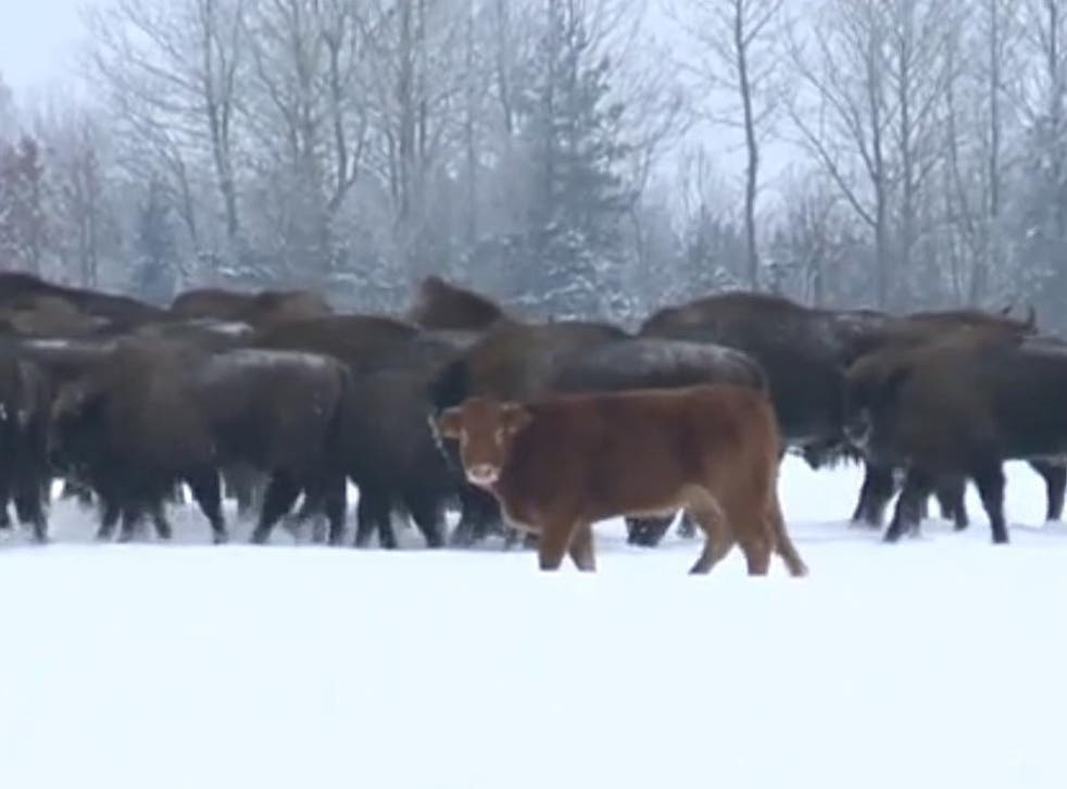 The light brown cow has been running with the bison for about three months