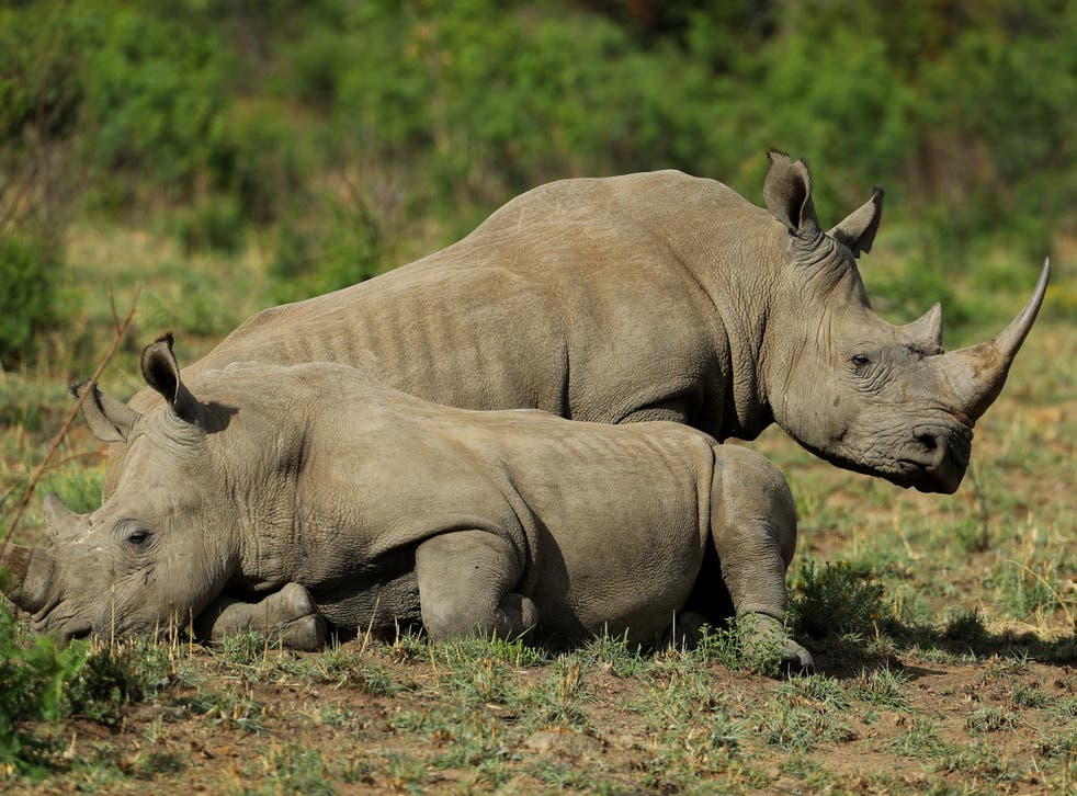 Rhinos are still being killed in significant numbers, despite South African government measures to stop poaching