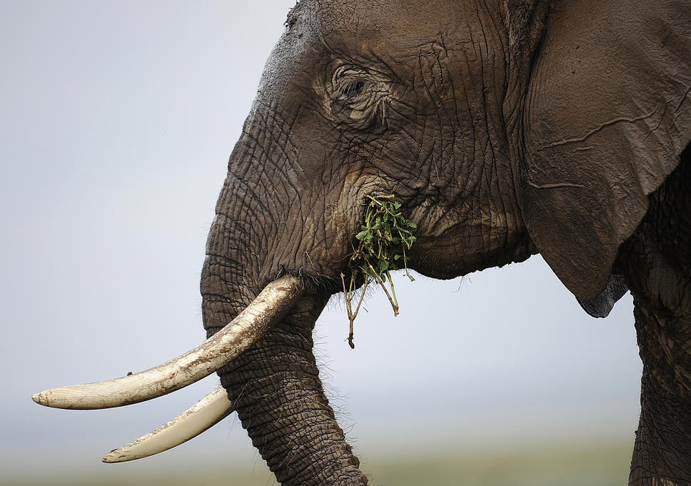 an elephant at the amboseli game reserve 250km south of the kenyan capital nairobi
