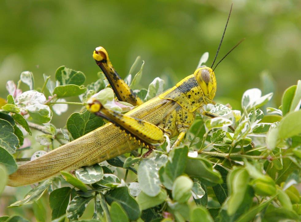 Locusts often feast on crops in southern Russia