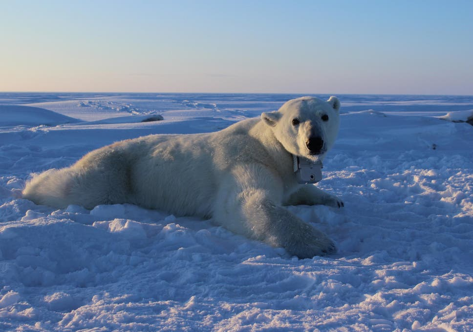 Polar Bears More Vulnerable To Starvation Due To Climate Change