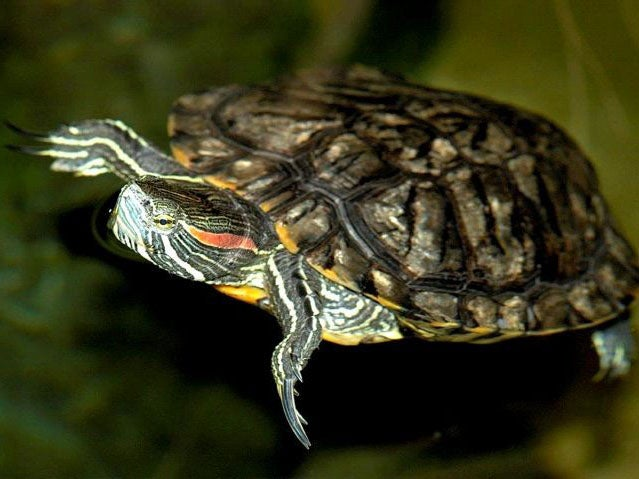 Stop flushing terrapins down the toilet, pet owners warned
