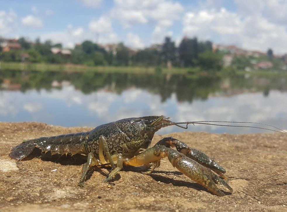 The marbled crayfish only emerged as a new species in the 1990s, but since then it has spread around the world by cloning itself