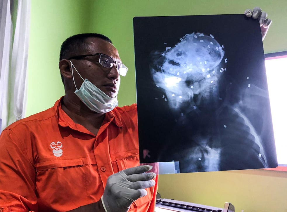 Hardi Baktiantoro, principal of the Centre for Orangutan Protection (COP), holds an x-ray showing air rifle pellets lodged in the head and body of the orangutan during its autopsy in East Kalimantan, Indonesia