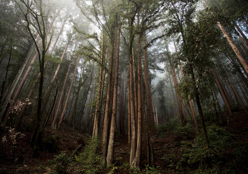 Decoding the redwoods: The race to preserve nature's skysers ... on