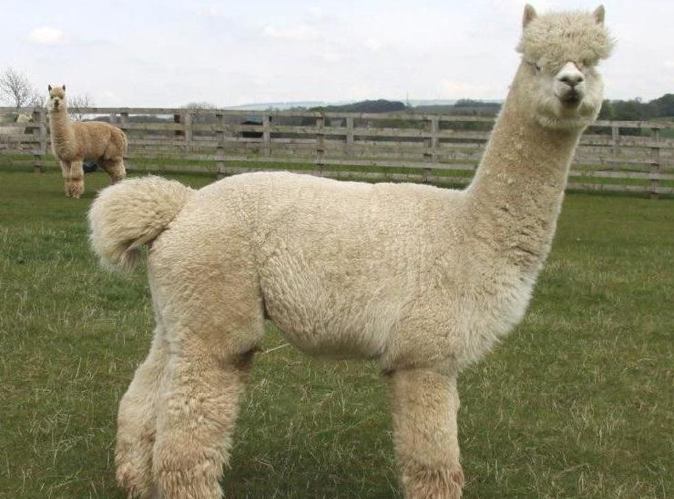 """Herts Alpacas said around 65 of its animals were at the farm when the dogs """"invaded"""""""