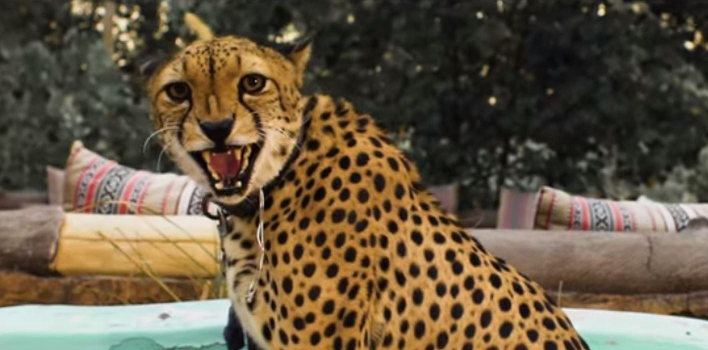 Cardi B 'attacked' by Cheetah while filming music video