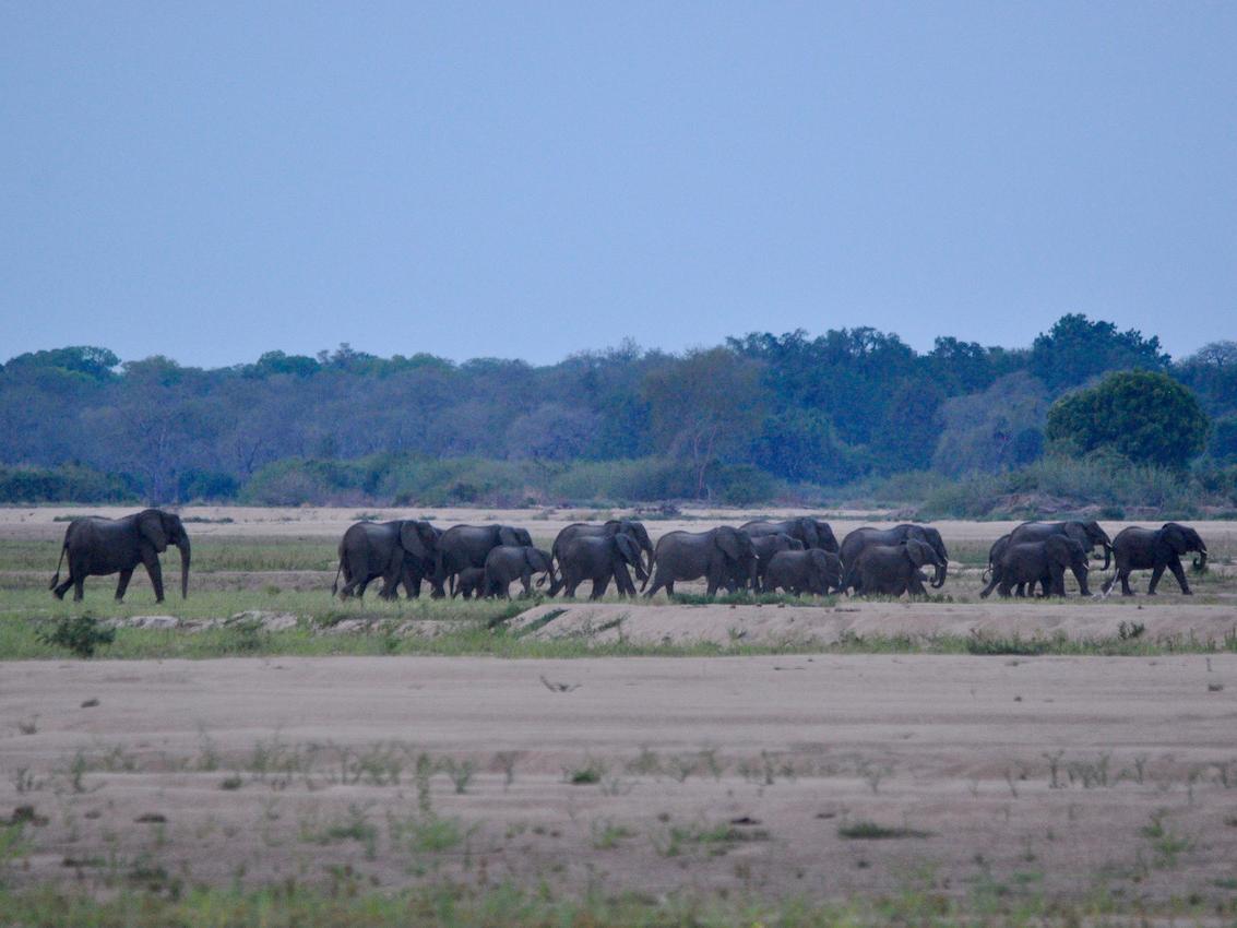 Poachers kill nearly 11,000 Mozambique elephants in 7 years