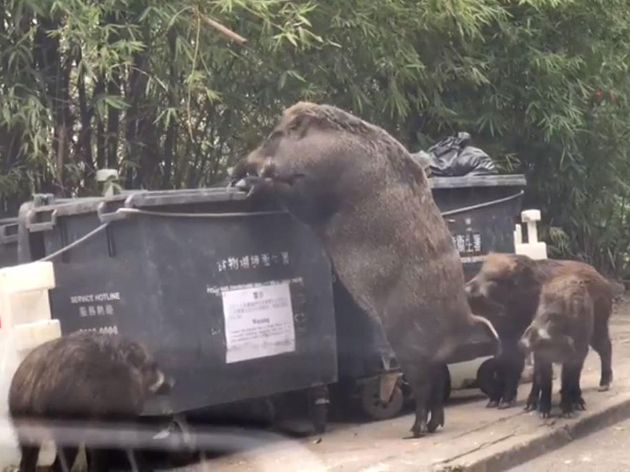 Giant wild boar eats from rubbish bin near school | The ...