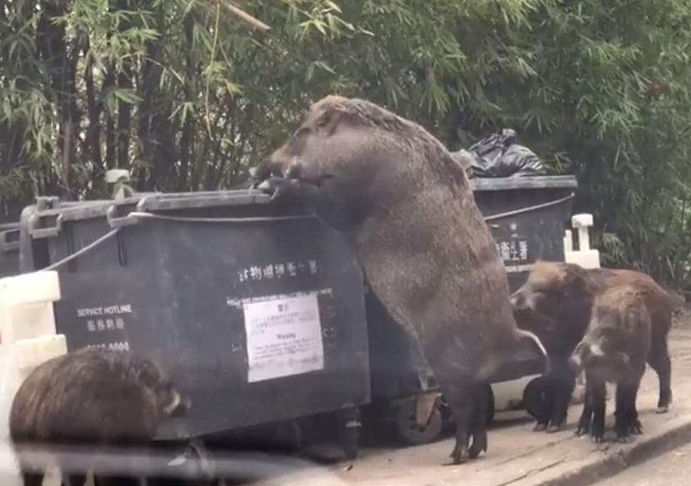 giant wild boar eats from rubbish bin near school the independent