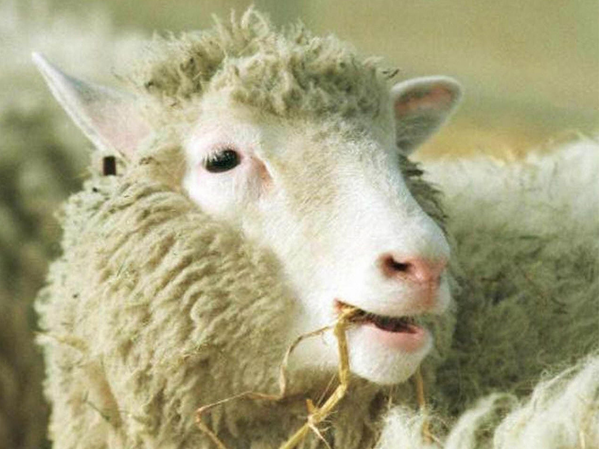 Dolly The Sheep 15 Years After Her Death Cloning Still Has The Power To Shock The Independent The Independent