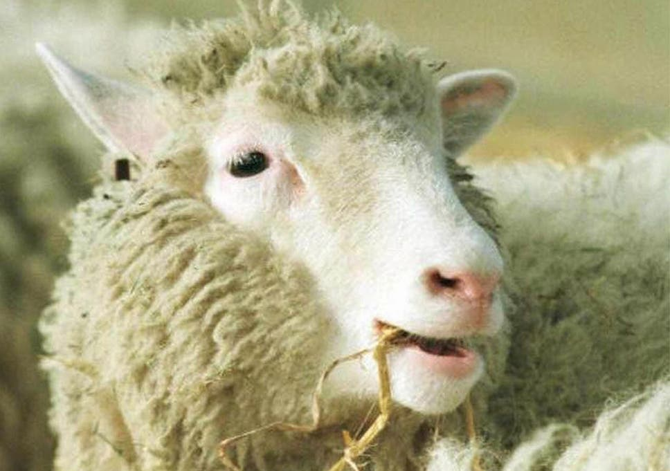 dolly the sheep 15 years after her death cloning still has the