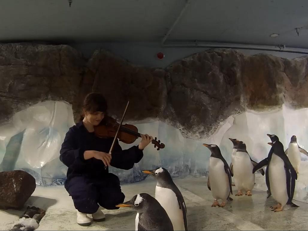 Parent penguins serenaded with violinist and red roses for Valentine's Day 'to encourage breeding'
