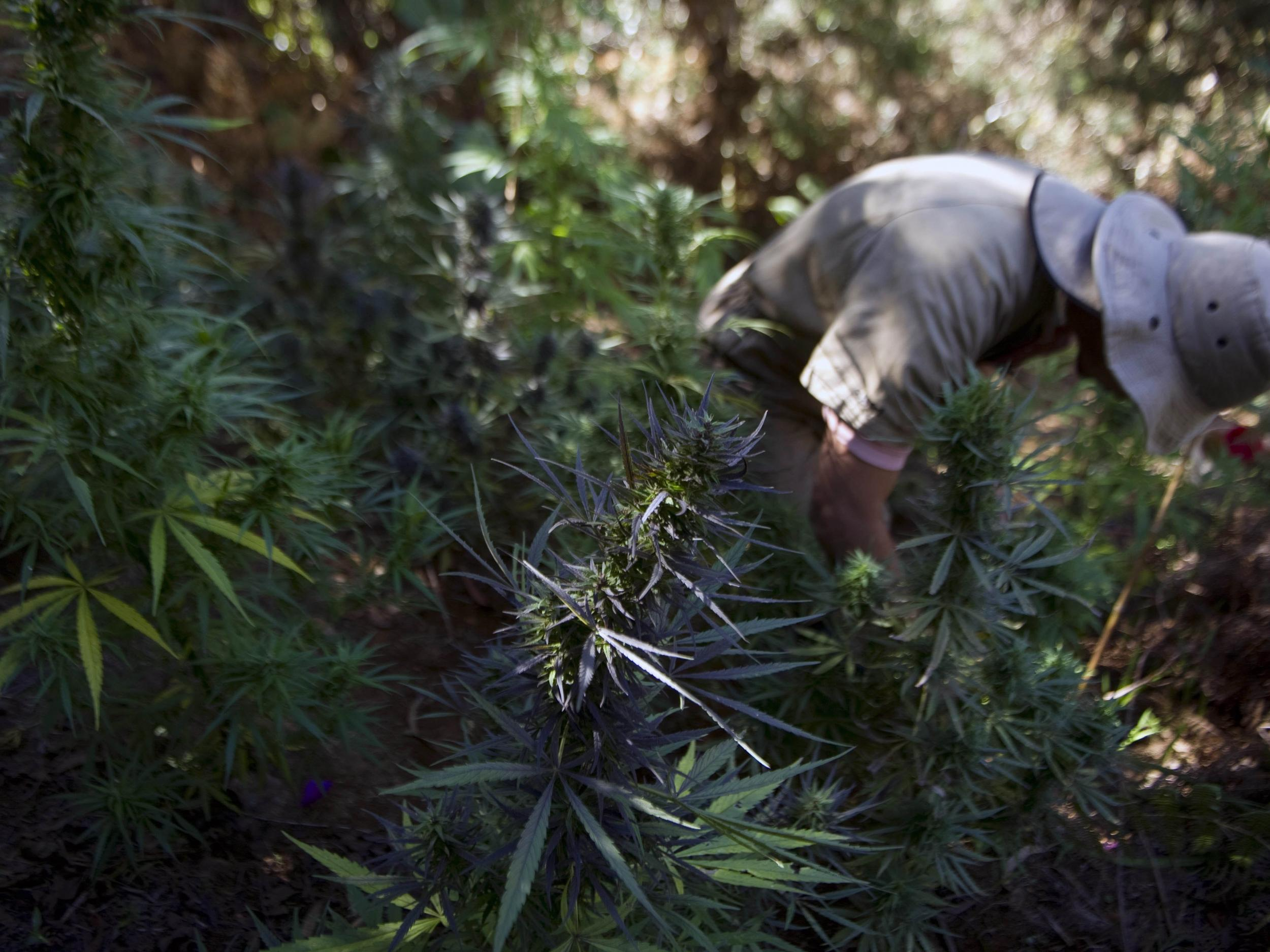 How legal marijuana could save California's wildlife from toxic pesticides