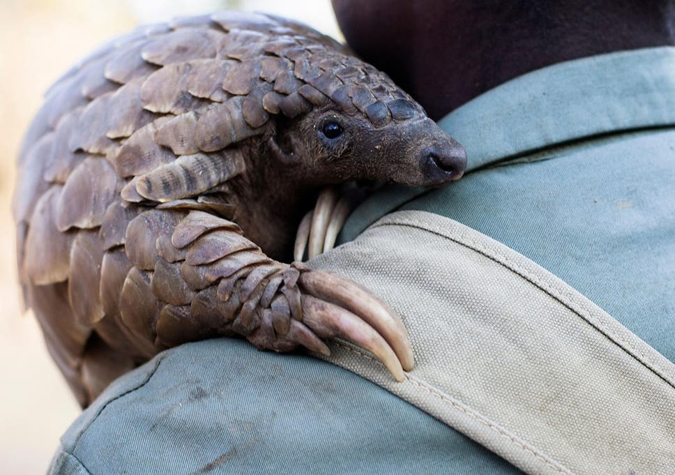All eight species of pangolin are threatened by poaching, due to the demand for their scales and meat