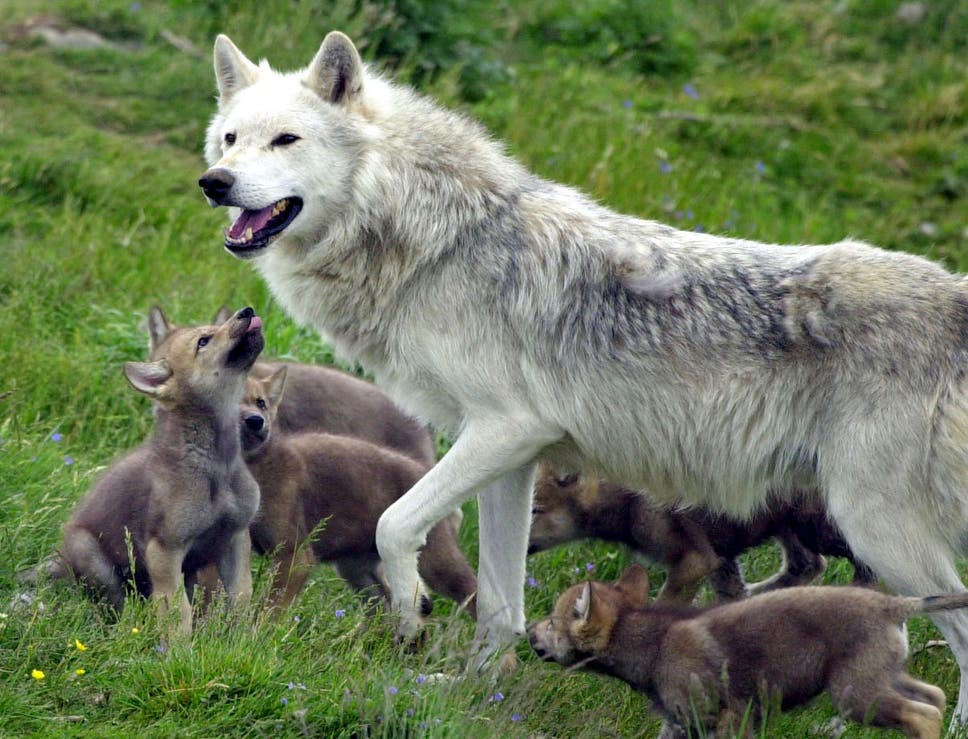 France could soon be home to 500 wolves as part of species several countries across europe are actively reintroducing wolves fandeluxe Images