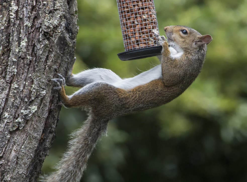 Grey squirrels caused millions of pounds-worth of damage to the UK economy in 2017