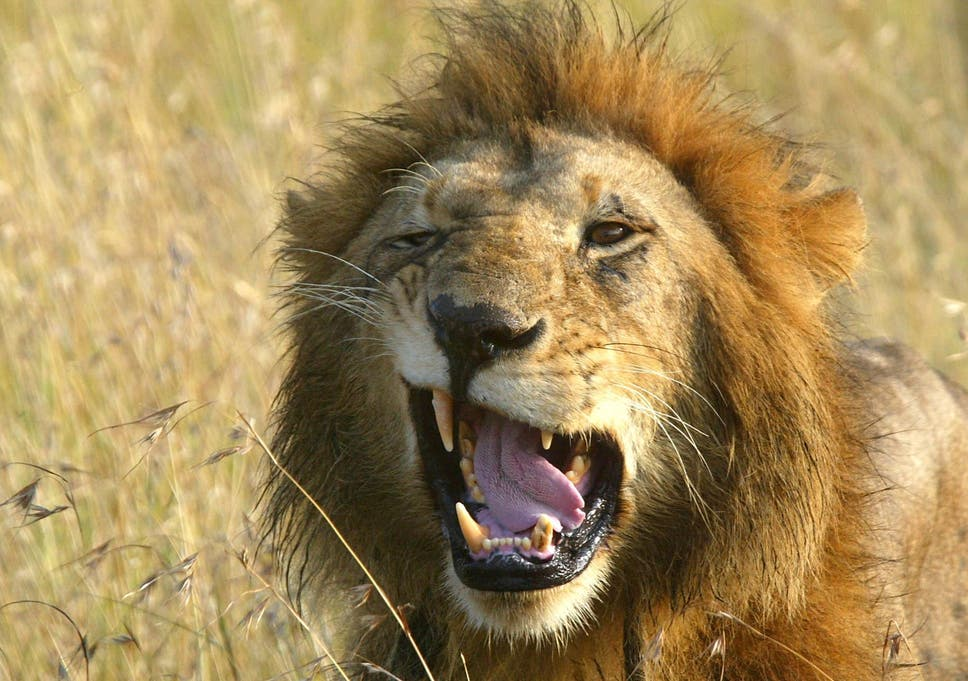 'The lions are our watchers and guardians and they picked the wrong pride and became a meal'
