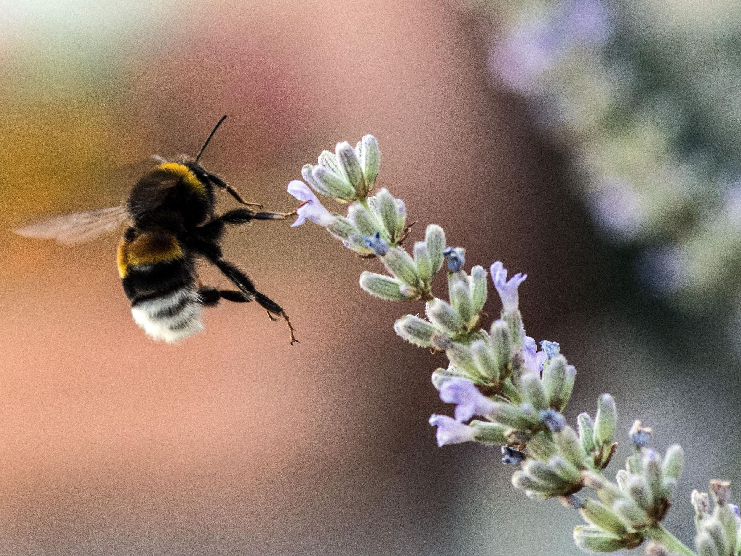 Bee-harming pesticides could face complete Europe-wide ban after EU report confirms threat