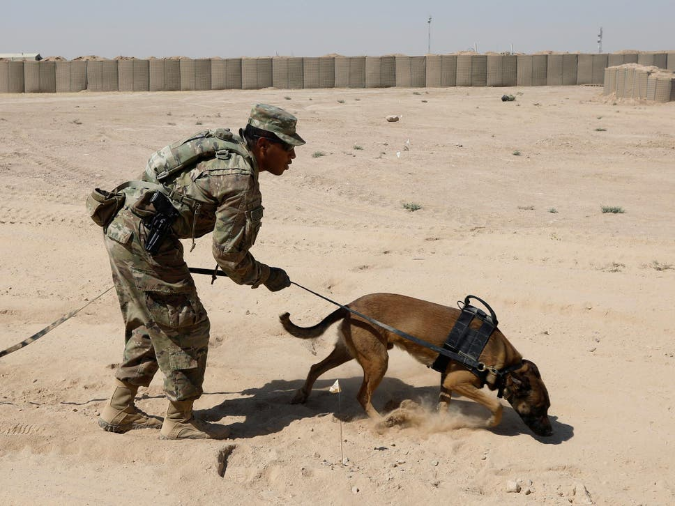 Bomb sniffing dogs mistreated by us army after returning from a us army dog undergoes training to detect explosive devices fandeluxe Gallery