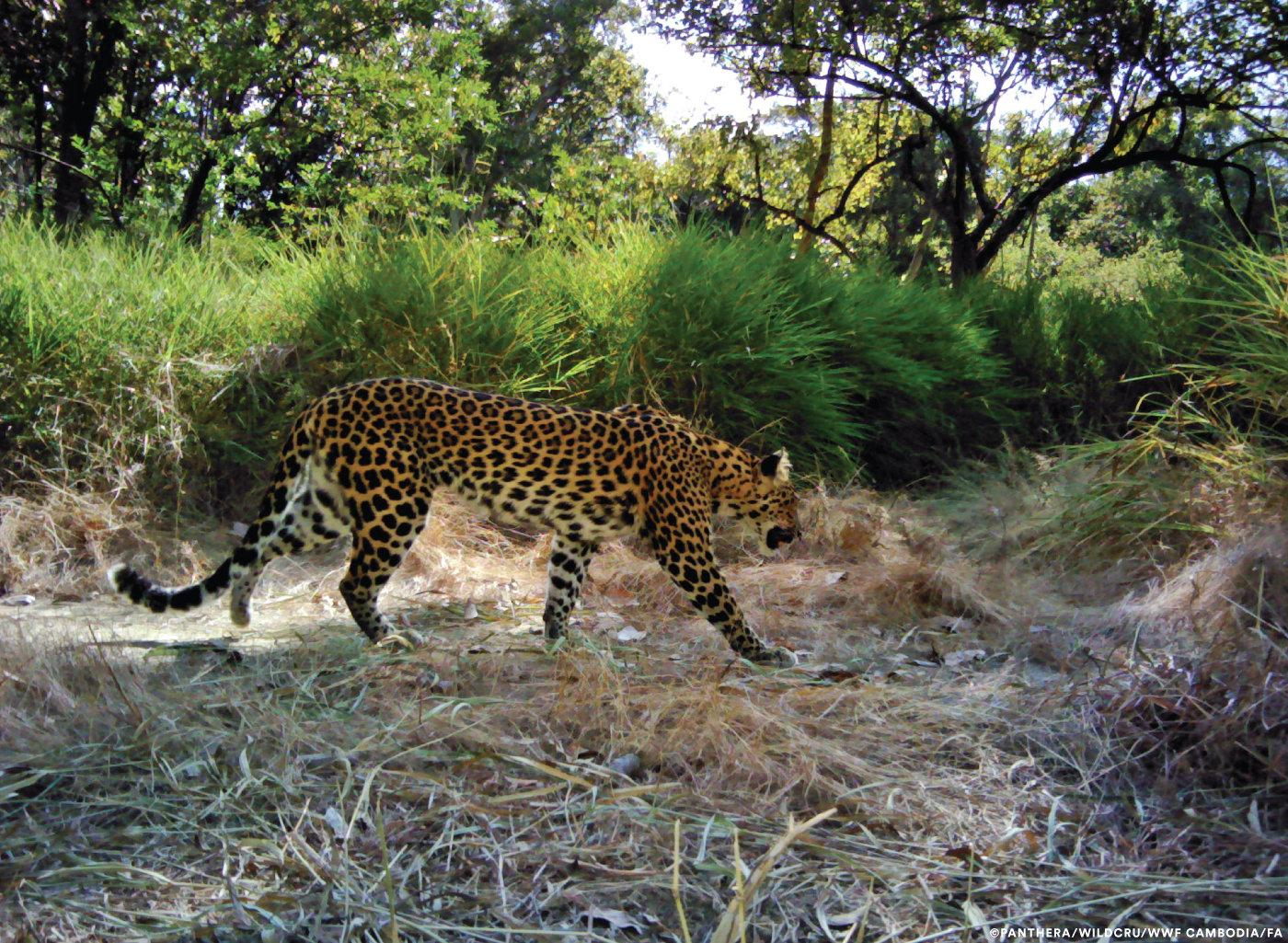 Leopards in Cambodia 'on brink of extinction due to poaching', research suggests