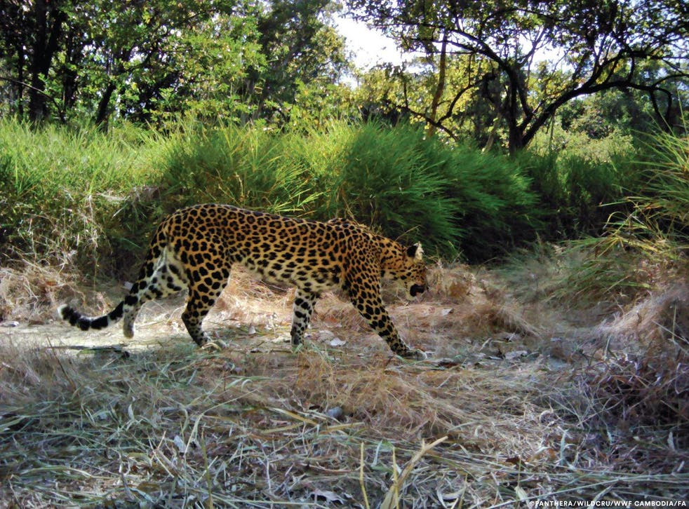"""The study shows that the world's last breeding population of leopards in the South East Asian country is at """"immediate risk"""""""